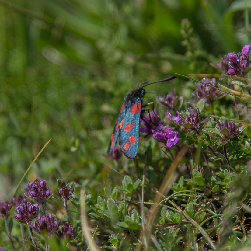 6 spot burnet day flying moth