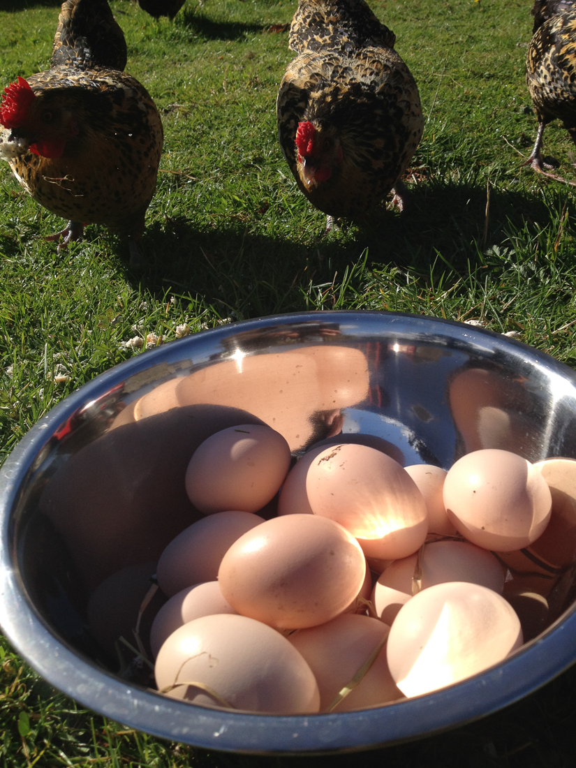 Collecting eggs from our own free range hens