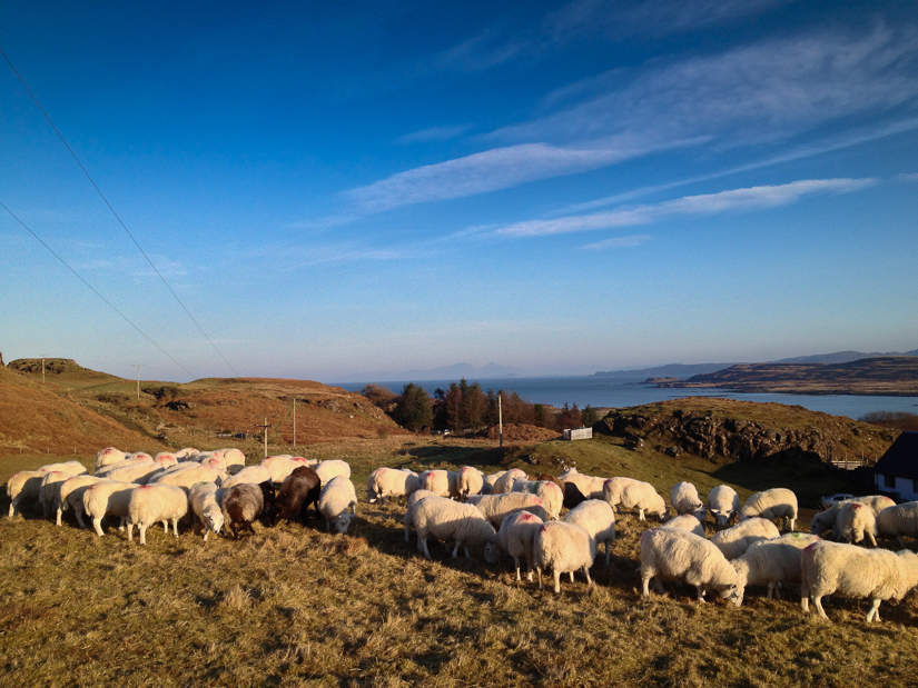 Feeding sheep in the winter at Penmore isle of Mull