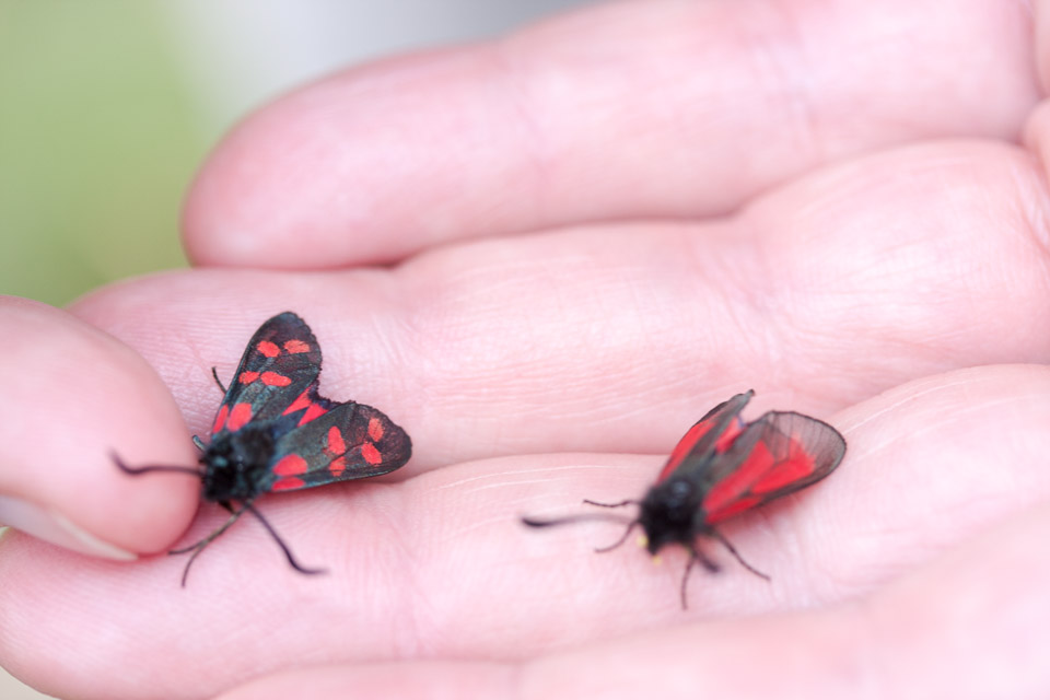 six-spot and transparent burnet side by side