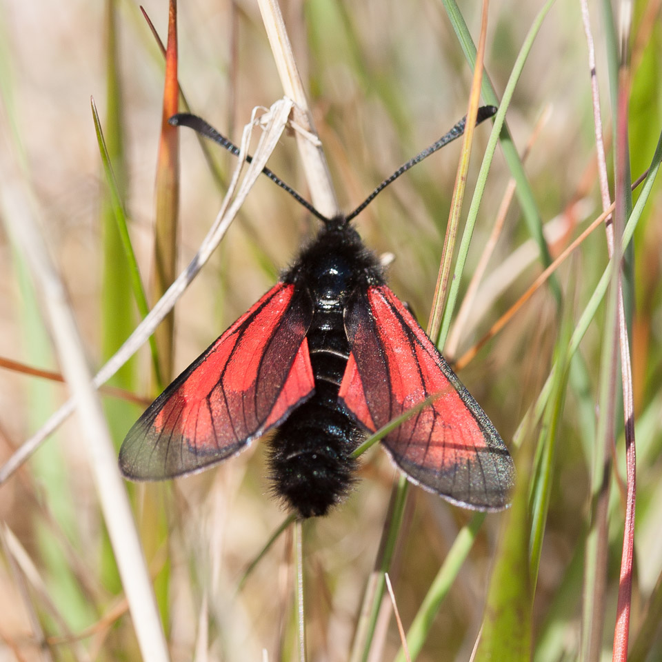 Transparent Burnet moth