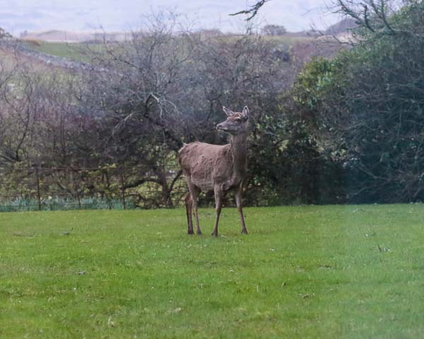 Red Deer on the isle of Mull