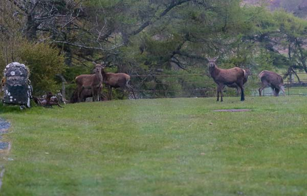 Red Deer on the lawn